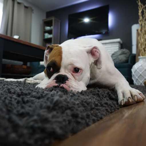 Pet Odor Control Dog on Rug